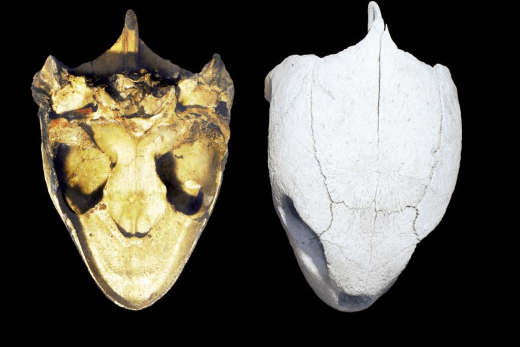 green-dorsal-skull