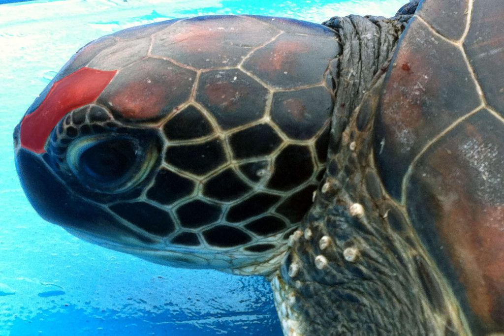 Okinawa sea turtles - sea turtle ID