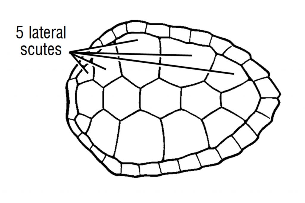 loggerhead-scutes