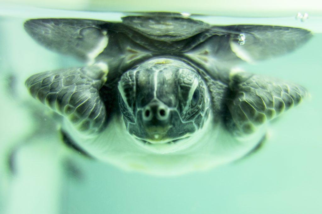 Image taken by Julia Janicki at the Kumejima Turtle Museum