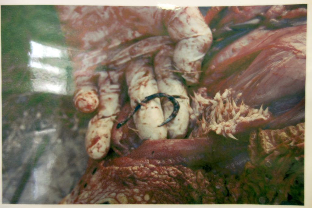 Hawksbill with hook in its esophagus. Image from the Kumejima Turtle Museum.
