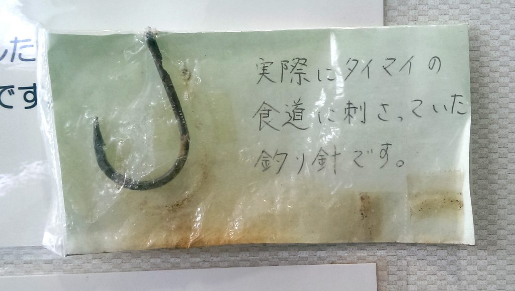 The actual fishing hook that was stuck in the esophagus of the Hawksbill. Image from the Kumejima Turtle Museum.