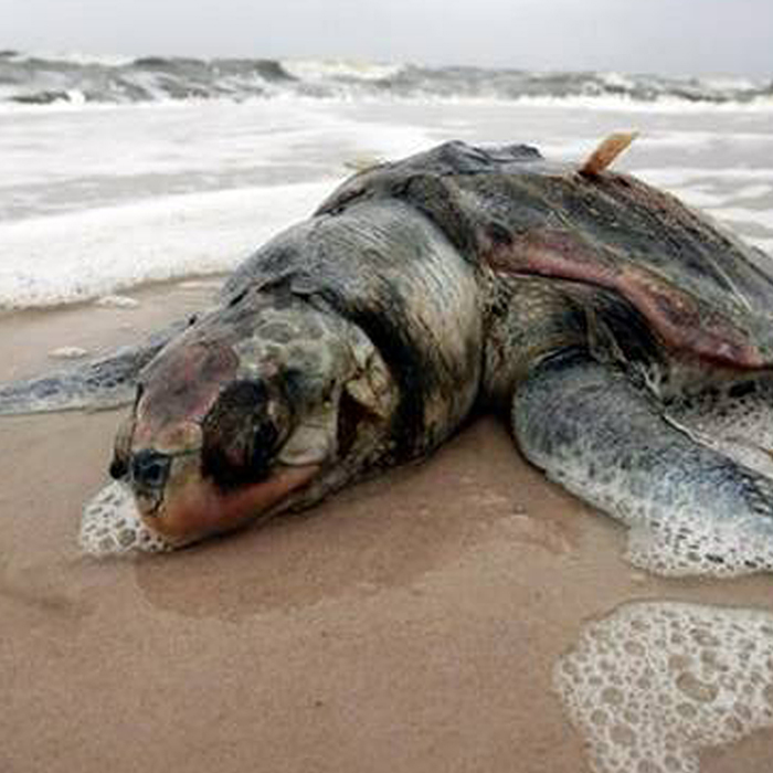 Okinawa Sea Turtles aware-toxin